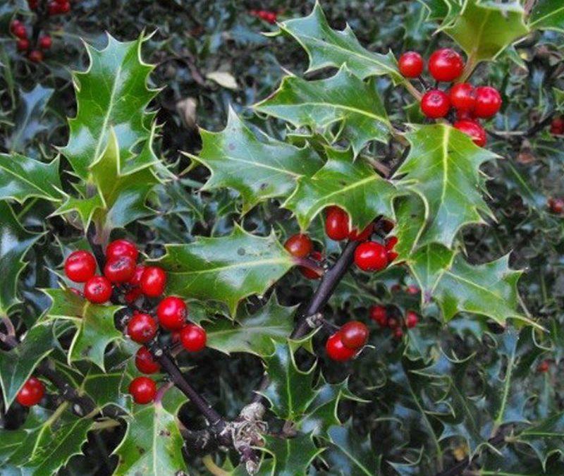 Underneath the Mistletoe: The Truth